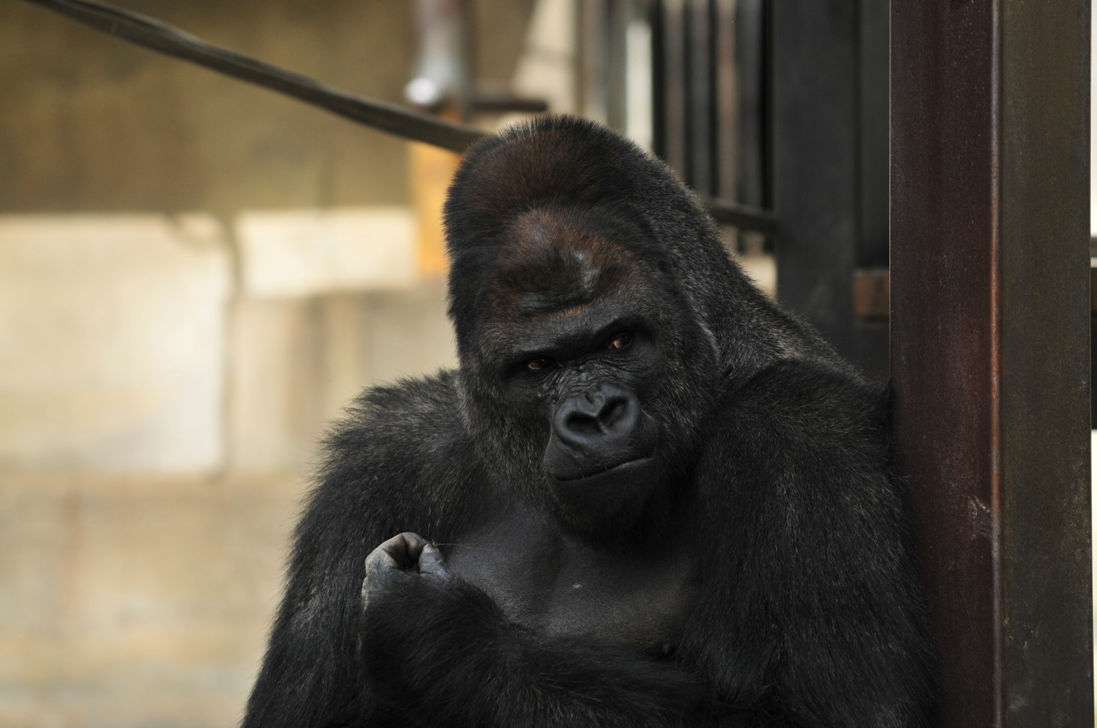 """""""Dünyanın En Yakışıklı Gorili"""" Tüm Kızların İlgi Odağı"""